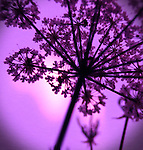 Garden Angelica in Purple Light