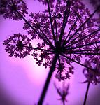 Garden Angelica in Purple Light