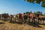 Zebu (Bos taurus) and Sanga Cattle (Bos taurus) herd, western Zambia