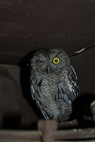 A Western Screech-Owl seen with one swollen eye sits on the patio light under the roof in Tucson, Arizona.