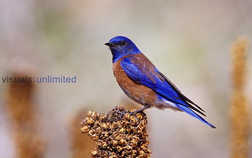 Male Western Bluebird on Mullein (Sialia mexicana), Western North America.