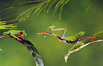 Red-eyed Tree Frog Jumping (composite)