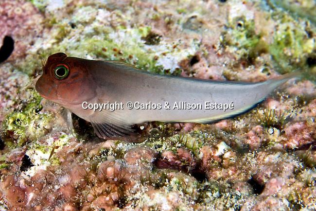 Ophioblennius macclurei, Redlip blenny, Florida Keys