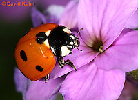 0106-0905  Seven-spotted Ladybug, Adult, Coccinella septempunctata, Virginia  © David Kuhn/Dwight Kuhn Photography