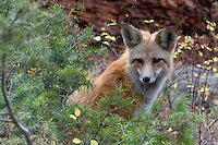 "The red fox (Vulpes vulpes) has been documented in Yellowstone since the 1880s. In relation to other canids in the park, red foxes are the smallest. Adult foxes weigh 9-12 pounds; coyotes average 28 pounds in Yellowstone; and adult wolves weigh closer to 100 pounds. Red foxes occur in several color phases, but they are usually distinguished from coyotes by their reddish yellow coat that is somewhat darker on the back and shoulders, with black ""socks"" on their lower legs. ""Cross"" phases of the red fox (a dark cross on their shoulders) have been reported a few times in recent years near Canyon and Lamar Valley. Also, a lighter-colored red fox has been seen at higher elevations.<br />