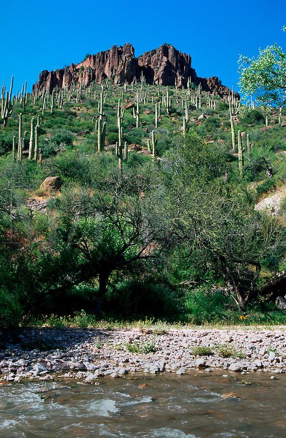 A desert landscape of the Aravaipa Canyon Wilderness with Saguaro Cacti lining the canyon walls. Arizona.