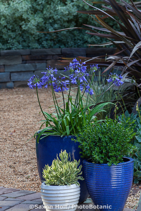 Containers of blue flowering Agapanthus 'Ever Sapphire', Buxus 'Baby Gem', and Lavender 'Meerlo' on patio; Sunset Plants
