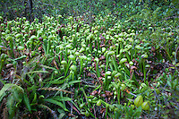 One view from the boardwalk through the fen at Darlingtonia Wayside with an abundance of the California pitcher plant, or Cobra lily, on display.