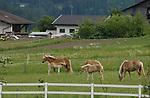 Palomino foal nuzzling mare, Imst, Tyrol, Austria.