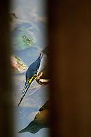 Ave moradora das áreas urbanas da capital.<br /> Pavãozinho-do-pará (Eurypyga helias). Símbolo do Estado do Pará, é comum em locais próximos a rios e lagos, onde costuma voar rasante à procura de presas. Aparece em países do México à Bolívia. No Brasil, aparece nas regiões norte e centro-oeste.<br /> Belém, Pará, Brasil.<br /> Foto Carlos Borges