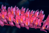 Dendrobium secundum Orchid species aka Toothbrush Orchid widespread in Asia