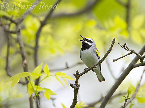 Golden-winged Warbler (Vermivora chrysoptera), male in breeding plumage, singing amid spring foliage, Hermon County, New York, USA