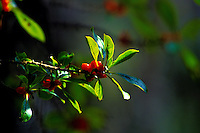 Native pilo plant with red berries
