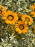 Variegated Orange Gazania ringens