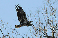 NWA Democrat-Gazette/FLIP PUTTHOFF<br /> Juvenile bald eagles, such as this one seen at Beaver Lake on Jan. 6 2015, don't develop white head and tail feathers until they're 5 or 6 years old.