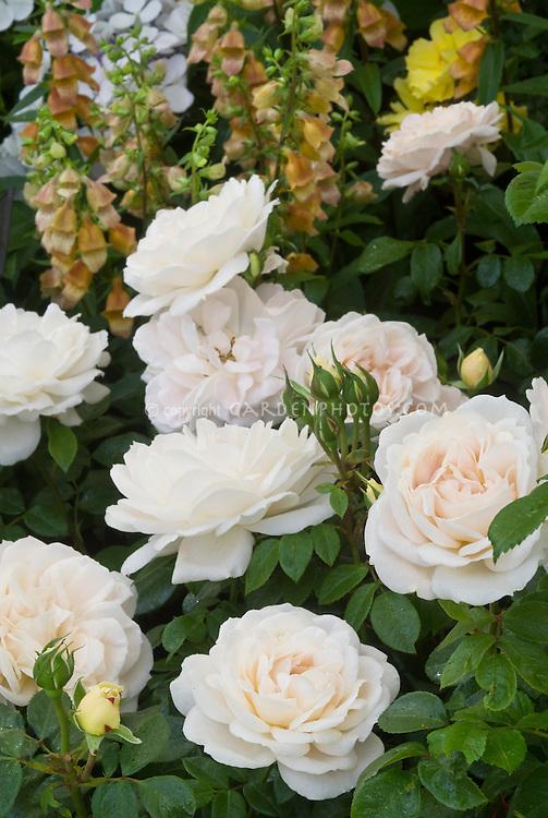 Rosa Champagne Moment roses pale cream peach white