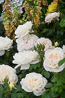 Rosa Champagne Moment roses pale cream peach white