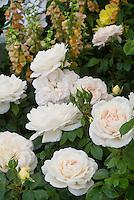 Rosa Champagne Moment roses pale cream peach white floribunda roses