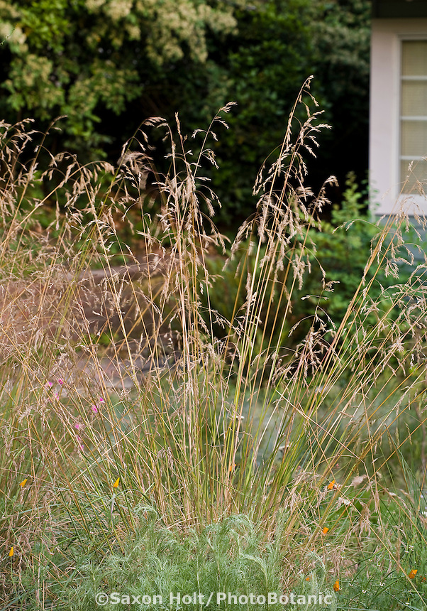 California fescue grass (Festuca californica) inflorescences going to seed in native plant garden, lawn substitute meadow