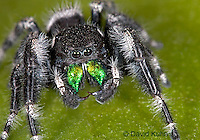 0412-07mm  Regal Jumping Spider - Phidippus regius © David Kuhn/Dwight Kuhn Photography