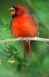 Northern Cardinal, Cardinalis cardinalis, USA, singing beak open, red.USA....