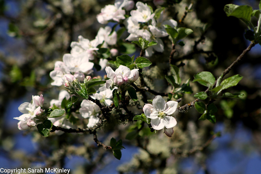 Blossoms of a Gravenstein apple tree growing outside of Willits in Mendocino County in Northern California.