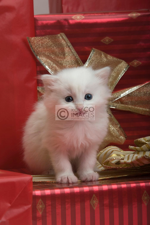 SINGLE 6 WEEK OLD LONG HAIRED WHITE KITTEN WITH CHRISTMAS PRESENTS