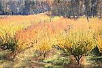 Brilliant Autumn Apple Orchard in Bright Sunlight
