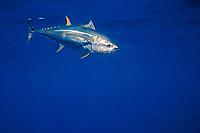 yellowfin tuna, Thunnus albacares, hooked sportfishing, San Diego, California, USA, Pacific Ocean