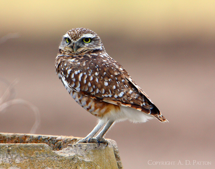 Adult burrowing owl sitting on concrete pipe at edge of ploughed field south of Mission, Texas. Note the owl has failed to wipe its beak after breakfast.