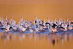 Bolivia, Altiplano, group of James' flamingos (Phoenicoparrus jamesi) in Laguna Colorada