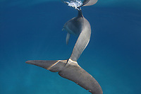 Bottlenose dolphin (Tursiops truncatus) in the Bahamas, Caribbean, Atlantic
