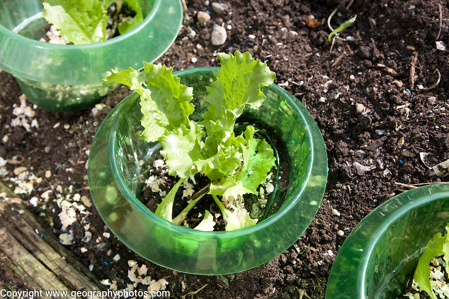 Young lettuce plants protected from insects by plastic container, UK