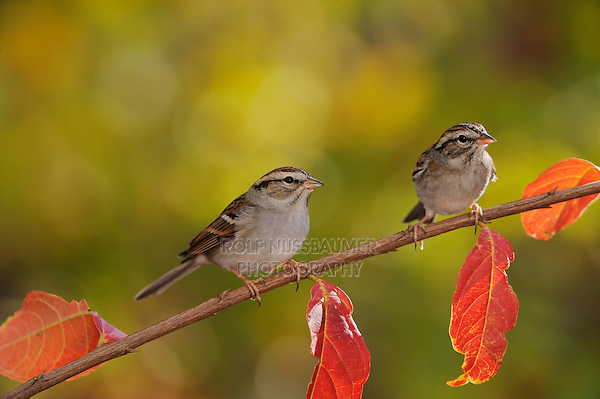 Chipping Sparrow (Spizella passerina), two adults perched on fall color branch of Crape myrtle (Lagerstroemia indica), New Braunfels, Hill Country, Central Texas, USA