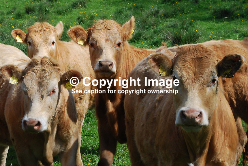 Cattle, young, generic, field, Ireland, ear tags, 200905192473..Copyright Image from Victor Patterson, 54 Dorchester Park, Belfast, UK, BT9 6RJ..Tel: +44 28 9066 1296.Mob: +44 7802 353836.Voicemail +44 20 8816 7153.Skype: victorpattersonbelfast.Email: victorpatterson@mac.com.Email: victorpatterson@ireland.com (back-up)..IMPORTANT: If you wish to use this image or any other of my images please go to www.victorpatterson.com and click on the Terms & Conditions. Then contact me by email or phone with the reference number(s) of the image(s) concerned.
