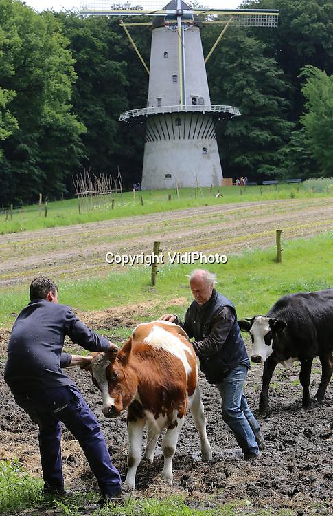Foto: VidiPhoto<br /> <br /> ARNHEM - Je bent een rund als je met vee stunt. Het kostte medewerkers van het Nederlands Openluchtmuseum in Arnhem donderdag de nodige moeite om deze jonge koe naar een andere weiland te krijgen. Niet ieder rund heeft door dat het gras bij de buren soms gewoon groener is... en vooral meer gras groeit. Maar een goede 'veehouder' heeft altijd wel een methode om een een koe op de plek van bestemming te krijgen. Met twee vingers in de neus, bijvoorbeeld. En wat duwen en trekken, natuurlijk.