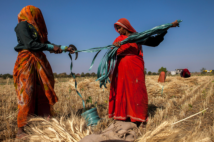 Agricultural workers prepare nylon ties to bundle harvested wheat in Manpur, India. A large portion of India's agricultural workers are women–apparently around 70%.