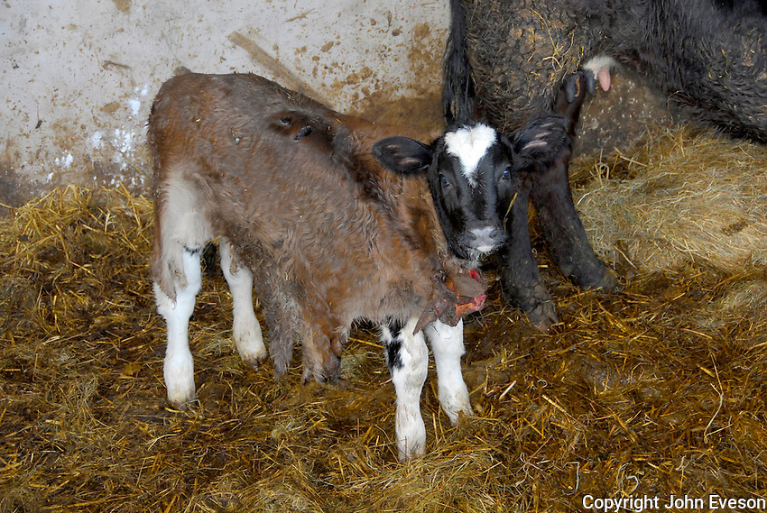 Calf wearing the skin of a cow's dead calf so the cow accepts the new calf.