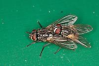 Gesichtsfliege, Herbstfliege, Augenfliege, Stallfliege, Paarung, Kopulation, Kopula, Männchen und Weibchen, Fliege, Musca autumnalis, face fly, autumn house-fly