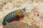 Anilao, Philippines; a Peacock Mantis Shrimp (Odontodactylus scyllarus) moving in the open across the coral reef