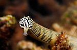 Seahorses Pipefish Pipehorse