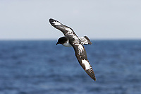 Adult cape petrel (Daption capense) on the wing in and around the Antarctic Peninsula. This petrel is sometimes also called the pintado petrel, the word pintado meaning 'painted' in Spanish.