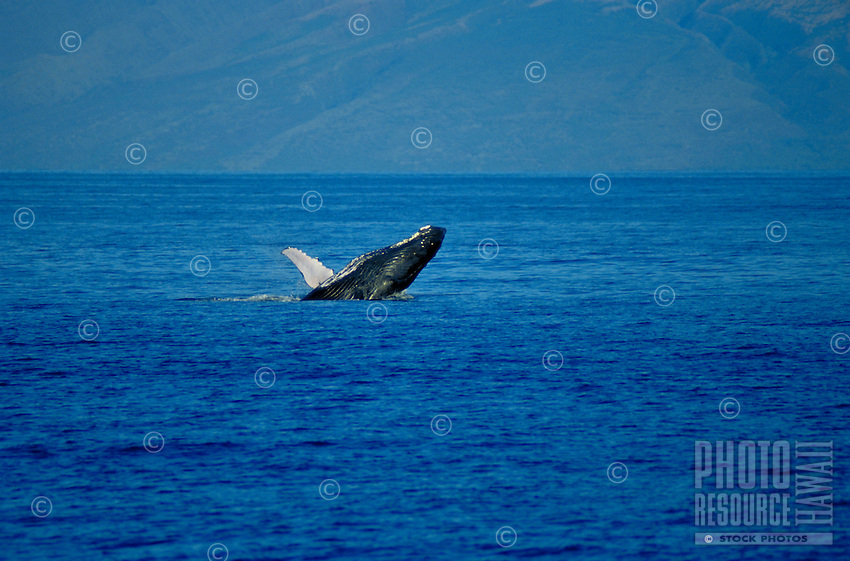 Humpback whale breeching off the coast of Maui