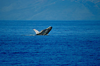 Humpback whale breeching off the coast of Maui