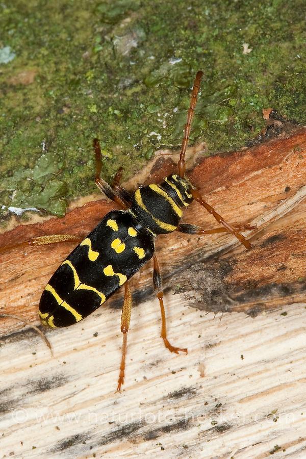Eichen-Widderbock, Eichenwidderbock, Widderbock, Wespenbock, Eichenzierbock, Wespen-Bock, Eichen-Zierbock, an Eichenholz, Plagionotus arcuatus, Clytus arcuatus, yellow-bowed longhorn beetle, Tarnung als Wespe - Mimikry