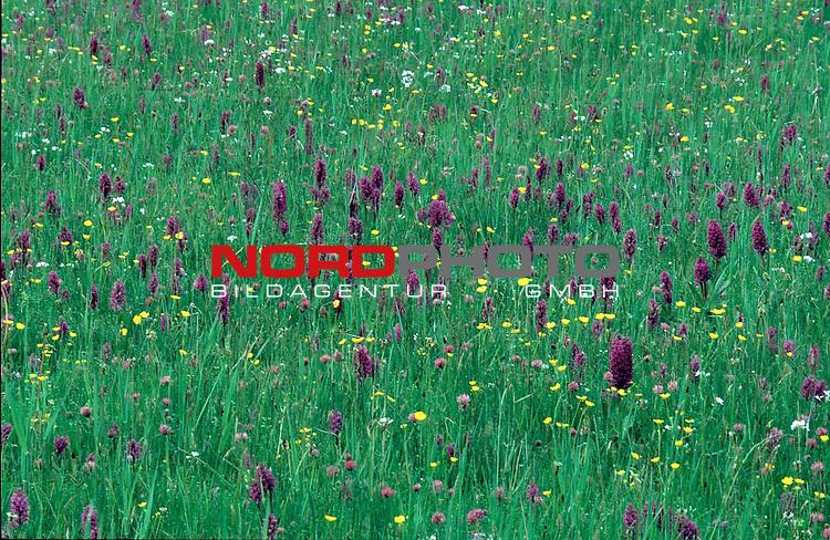 Orchideenwiese<br /> Foto &copy; nordphoto / Willi Rolfes<br /> <br /> <br /> <br />  *** Local Caption *** Bildinfo: 20 * 30 bei 300 DPI<br /> Foto ist honorarpflichtig! zzgl. gesetzl. MwSt.<br />  Belegexemplar erforderlich<br /> Adresse: nordphoto<br /> Georg-Reinke-Strasse 1<br /> 49377 Vechta