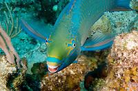 Queen Parrotfish (Scarus vetula) eating coral, Grand Turk, Turks & Caicos Islands, Caribbean.