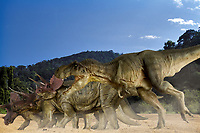 Digital composite of an adult Tyrannosaurus rex, a 125 meter-long carnivorous theropod dinosaur from the late Cretaceous period, attacking a herd of Triceratops horridus, a large three-horned ceratopsian dinosaur from the same time frame, in what is today Western North America