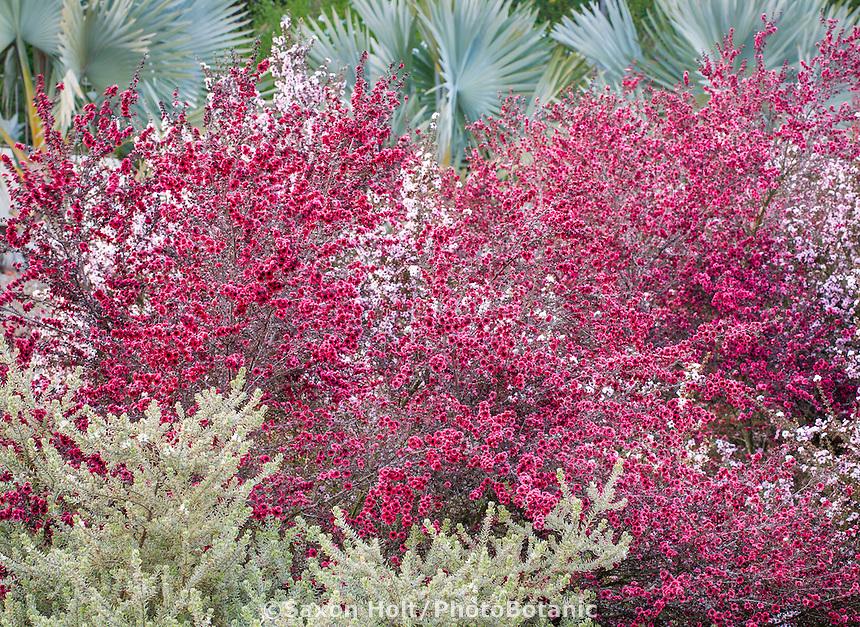 Red, magenta flowering drought tolerant Leptospermum scoparium shrub in Southern California garden