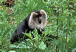 Wanderoo (Macaca silenus) - captive, male, large disk shaped face.India....